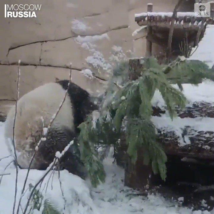莫斯科动物园找到了一个回收再利用圣诞树的方法