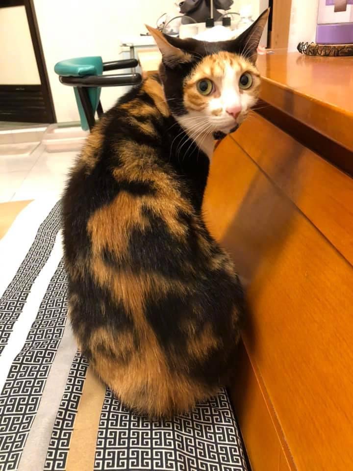 主人表示,有天家里的猫咪回首看自己,怎么像一幅名画!