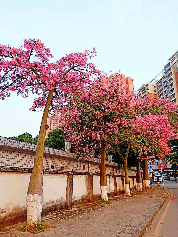 万万没想到广州冬日能美成这样 华南师大的美丽异木棉