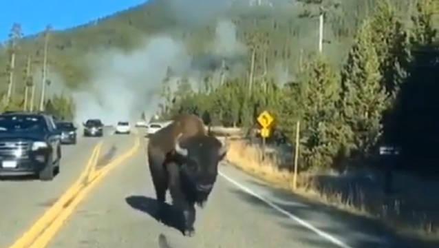 美国黄石国家公园遇上野牛在马路上漫步