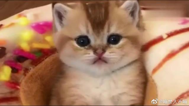 小猫咪也太萌了吧,这眼神把我都迷住了!真是一双深情的大眼睛啊