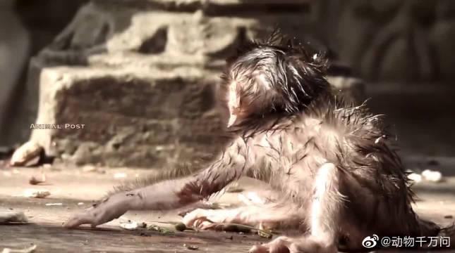 可怜的小猴子刚出生就被妈妈给抛弃了,母猴太狠心了