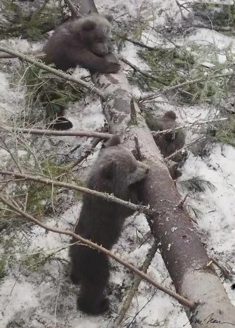 我在北极看到了一种哺乳动物,该动物有点类似于中国的熊猫
