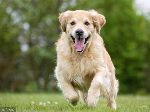 怎么训练金毛犬?只要牢记这6个诀窍,狗狗一生听你的话!