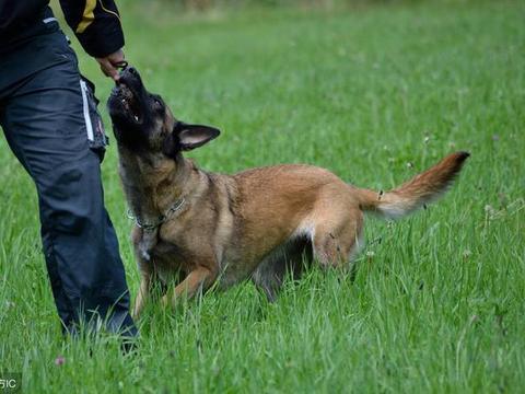 狗狗在多大年龄训练是黄金时间