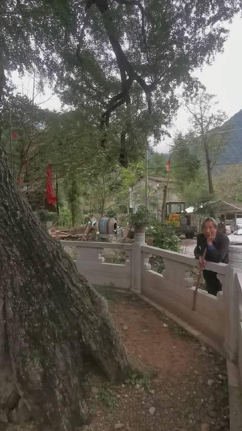 距今一千多年的唐代古银杏树,在四川江油雁门山区云锣村