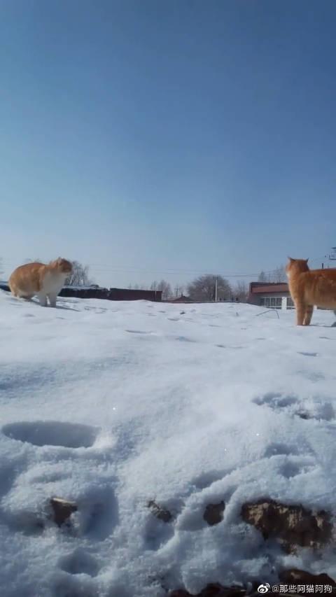 两只猫咪在雪地里打架,谁都不服谁,场面异常激烈