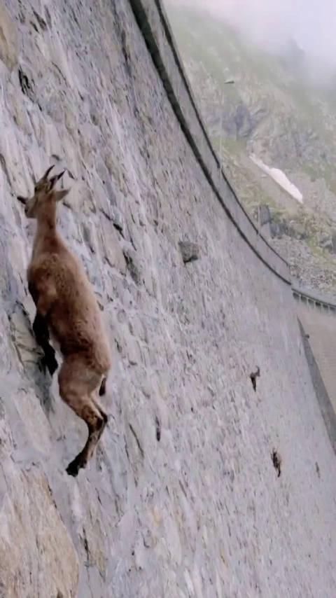 是什么原因让这些山羊攀爬在百米水坝的岩壁上?