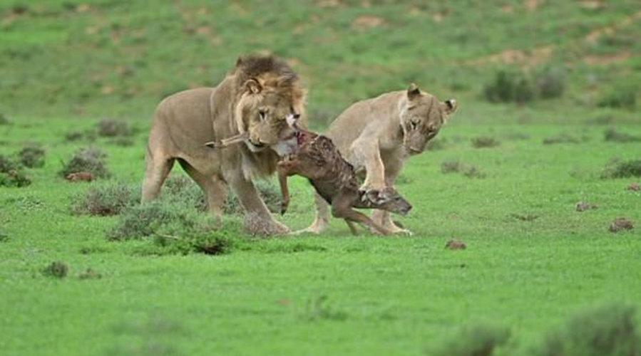 """南非两狮子与羚羊""""玩""""20分钟后将其吃掉 疑要引羚羊妈妈入陷阱"""