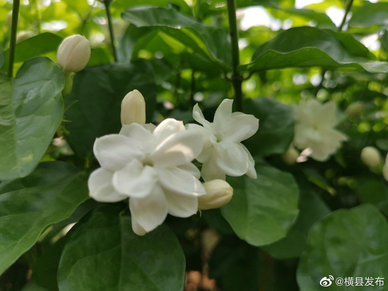 """近年来,横县深化农村改革,以""""特色,绿色,品牌""""为抓手"""