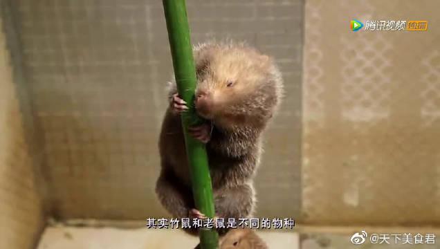 竹鼠浑身都是宝,尾巴上的白筋可做外科缝合线