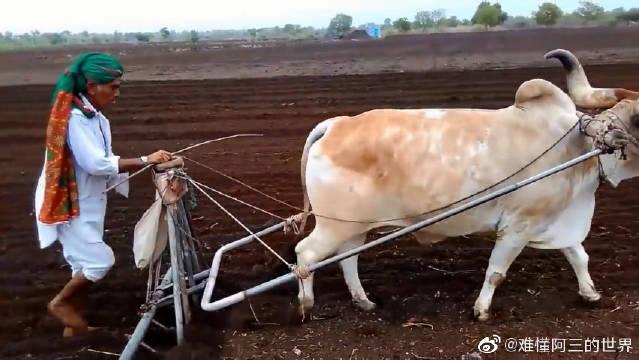 印度不都是把牛供起来的嘛,怎么还用来犁地?