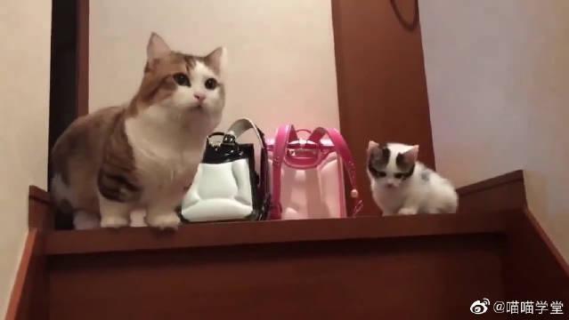 短腿小奶猫下楼梯,前进一步退三步,少女心都被萌化了