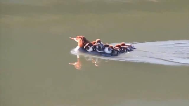 """一艘满载小鸭的""""快艇""""萌翻网友,鸭妈妈:感到了前所未有的鸭力!"""