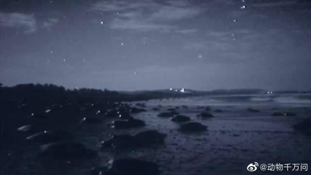 大量的小乌龟破土而出,向着大海的方向爬去