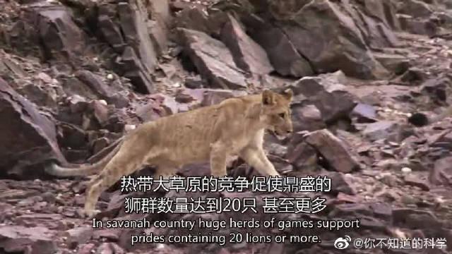 沙漠中居然生活着大群狮子,数量多达20只,可以在沙漠中生存