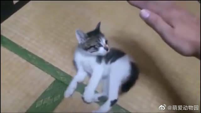 铲屎官向小猫咪伸出咸猪手,小猫咪超凶随时准备炸毛