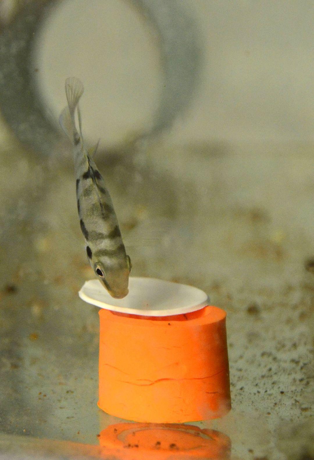 """法国研究人员发现鱼有悲观情绪 与伴侣分开会感到""""心痛"""""""
