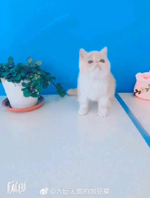 加菲猫 乳白母猫 比过赛有奖花和成绩 双血统 带血统证书 疫苗和驱虫