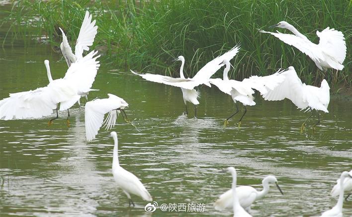 8月20日,上百只白鹭在西安浐灞生态区浐河桃花潭公园或跳跃起舞