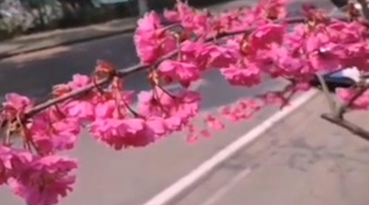 武大校医院早樱盛开,网友:愿疫情早日离去,我们樱花树下见