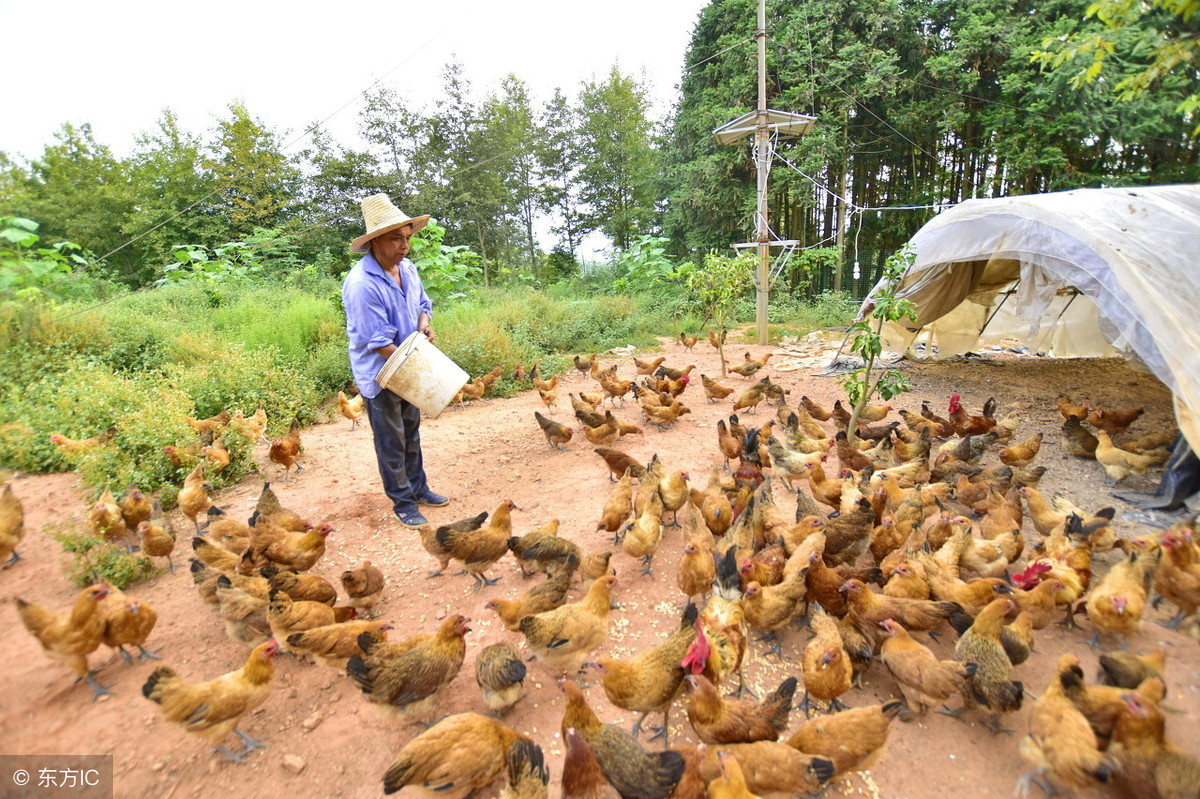 鸡养殖技术:松针粉加入鸡万博manbetx客户端,肉鸡长得好、产蛋多