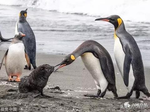 小海豹被企鹅群欺负得很狼狈,母海豹霸气护犊,勇猛对峙王企鹅