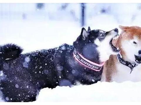 我不信!这一定是两只狗!日本微笑天使柴秒变满脸褶子颓大叔