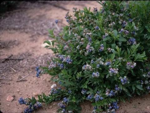 想要蓝莓能结果更多,长得更加健壮,有几点是不可忽视的