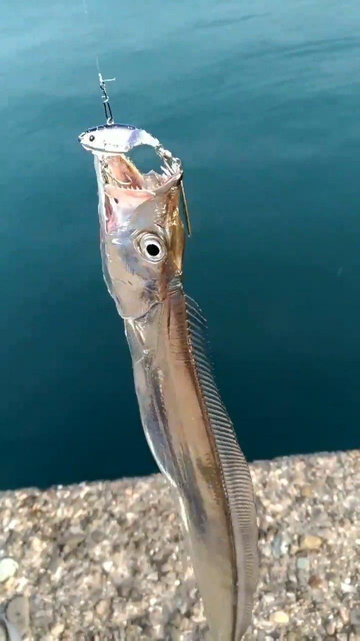 刚钓上的闪闪发光的白带鱼。 推特Hun_Yah