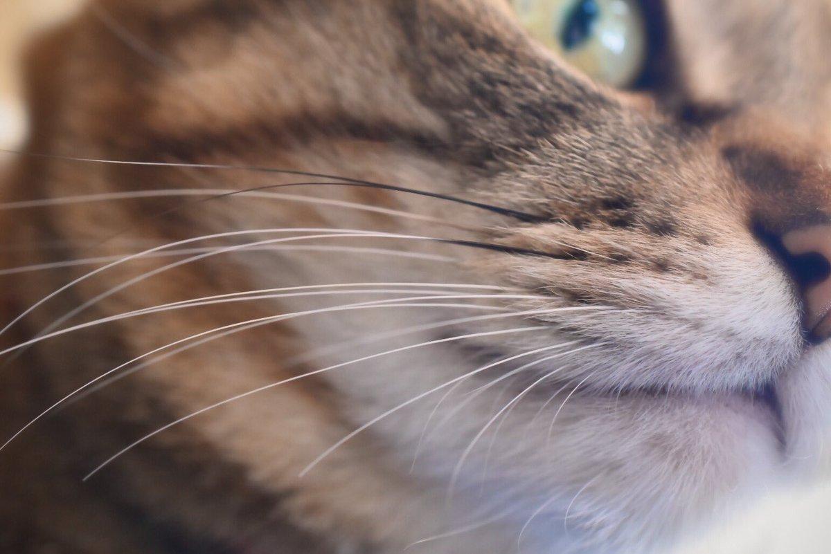 养猫的朋友们,猫猫掉落的胡须,你会怎么处置呢