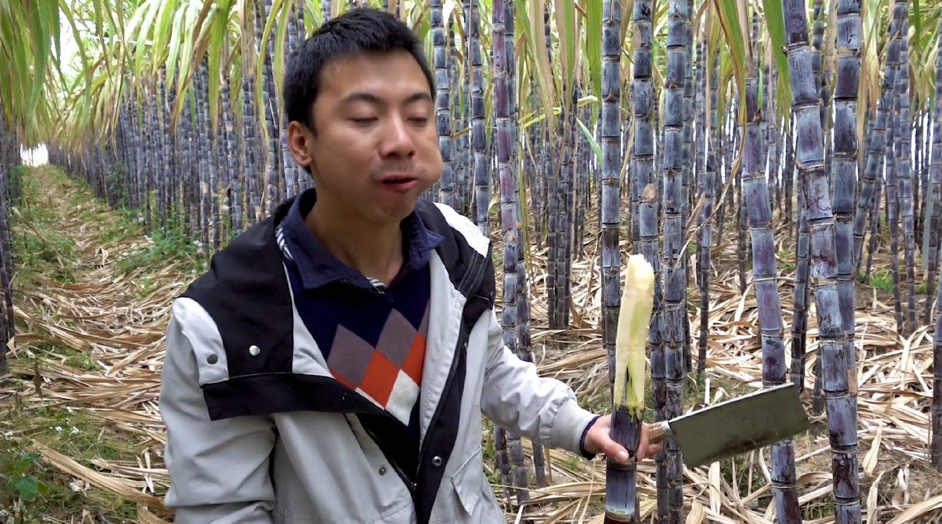 华农兄弟:看下兄弟家的甘蔗,顺便砍点来尝下,再去砍一把香蕉