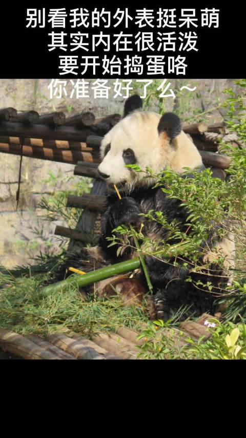"""香市动物园的国宝又卖萌营业啦!想不到你是这样的""""功夫熊猫""""~"""