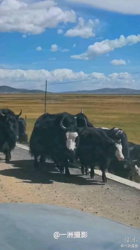 若尔盖草原上的牛老大