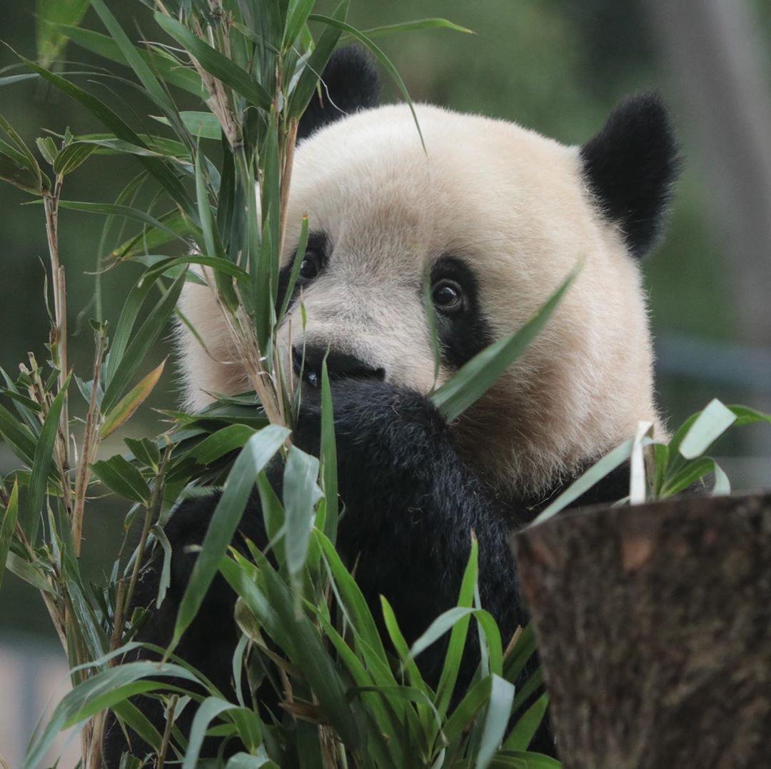 """大熊猫这种""""大萌物"""",滚滚的可爱毋庸置疑。"""