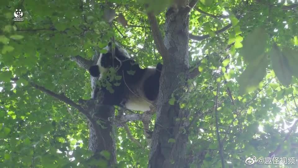 下辈子我也想做一只熊猫,有人抱还有人喂奶奶