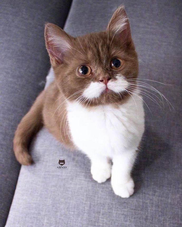 拜猫网_可爱的小白胡子ig:gringo(转自@云吸猫小哥 )