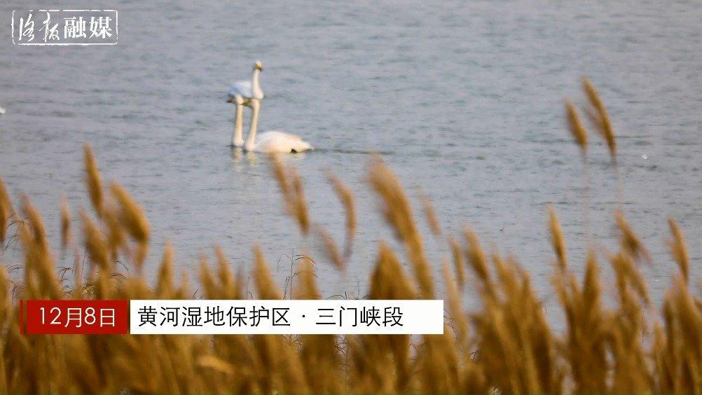 """天鹅来到黄河湿地  上演""""冬季恋歌"""""""
