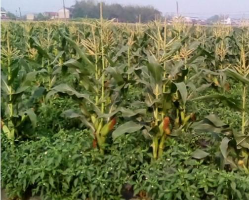 乡村村民只能种高梁不能种玉米?官方回复