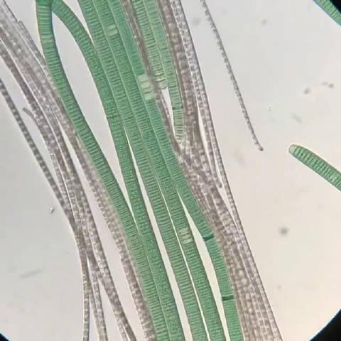 如同大型立交现场,蓝藻和丝形细菌的运动