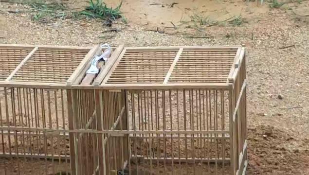 这是在斗鸟?
