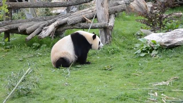 朋友:为什么熊猫会和功夫扯上关系呢?我: