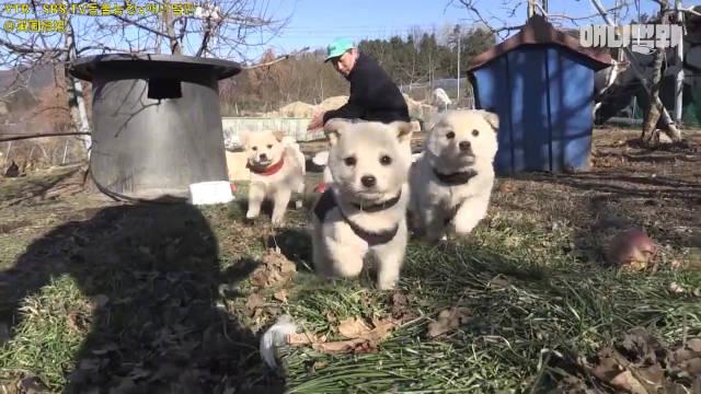农场里的最强霸主争夺战:可可爱爱的小奶狗们对阵流氓大鹅黑帮