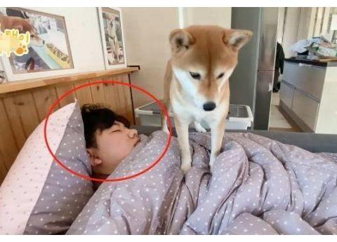 """柴犬从小就睡主人身上,现在当""""爸""""了,还当自己是小奶狗"""