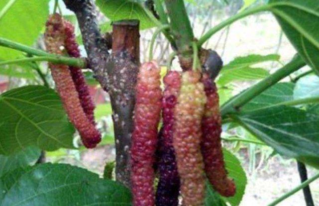 新品种水果,每亩产几千斤,没人种一年结果4次