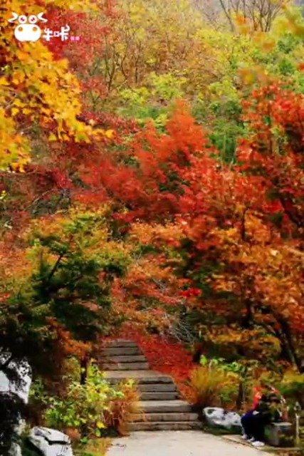 栖霞山的枫叶要红了!最佳赏枫期或在下周
