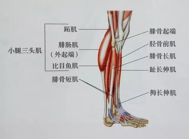 小腿粗又硬?送你最全面最清晰的小腿拉伸大法