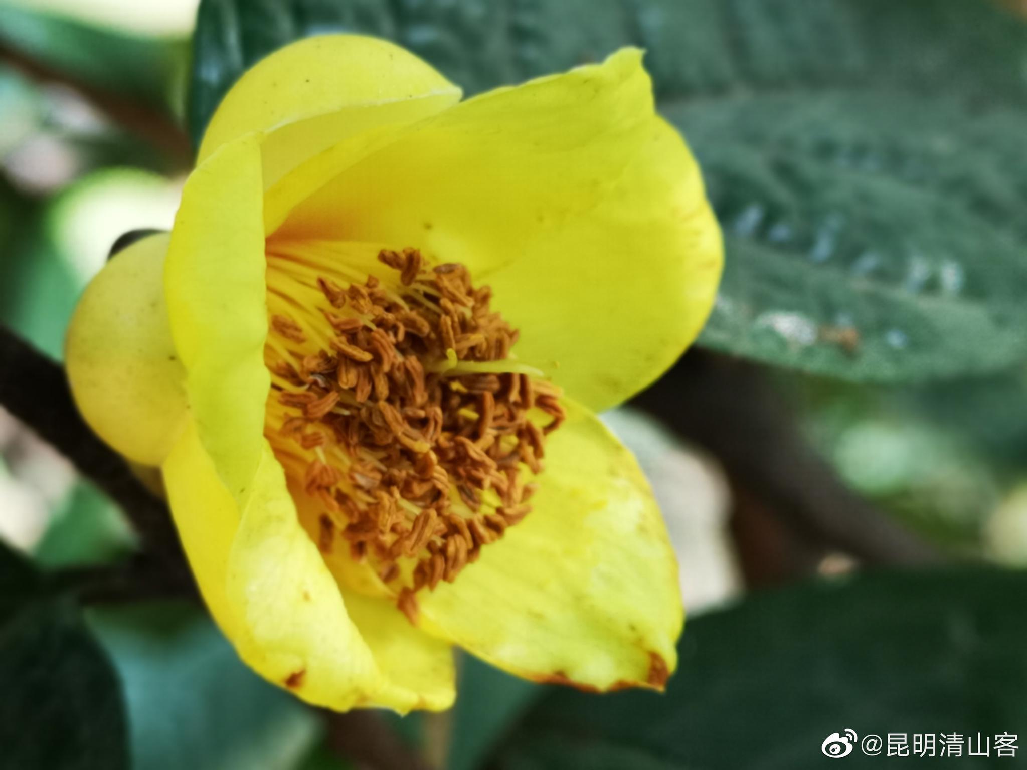 昆明植物园东园漂亮的金茶花@中国图库冯飞燕 @中国图库tukuchina @镜