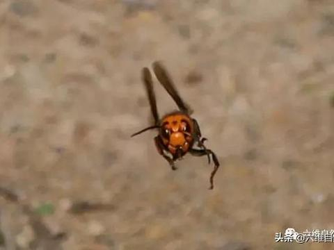 两大肉食性昆虫,大刀螳螂对决金环胡蜂,被胡蜂落地刺杀!