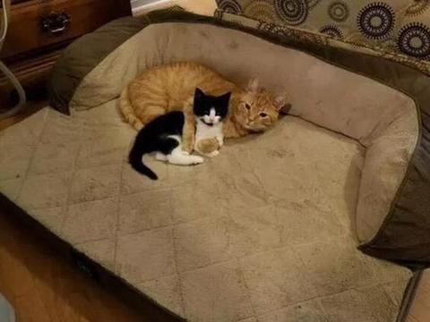 主人领回一只黑猫,家里的橘猫瞬间坠入爱河,时刻搂着黑猫不撒手